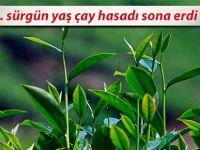 3. sürgün yaş çay hasadı sona erdi