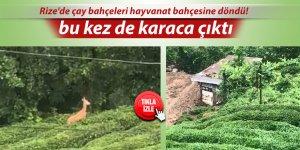 Rize'de çay bahçeleri hayvanat bahçesine döndü!