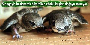 Şırıngayla beslenerek büyütülen ebabil kuşları doğaya salınıyor