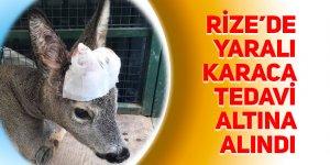 Rize'de yaralı karaca tedavi altına alındı