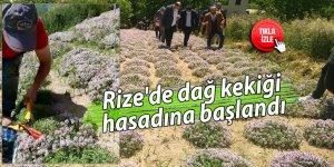 Rize'de dağ kekiği hasadına başlandı