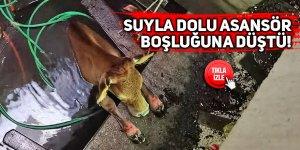 Asansör boşluğuna düşen inek kurtarıldı
