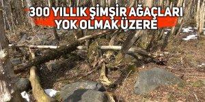 300 yıllık şimşir ağaçları yok olmak üzere