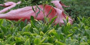 Çay ihracatında artış