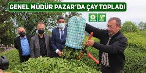 Genel Müdür Alim Pazar'da çay topladı