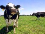Kendi memesinden süt içen inek!